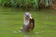 Otter with fish